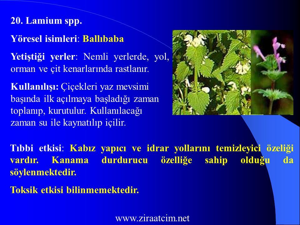 20. Lamium spp. Yöresel isimleri: Ballıbaba Yetiştiği yerler: Nemli yerlerde, yol, orman ve çit kenarlarında rastlanır. Kullanılışı: Çiçekleri yaz mev