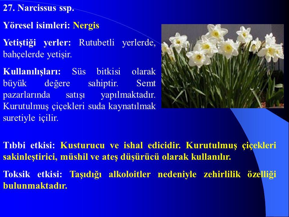 27. Narcissus ssp. Yöresel isimleri: Nergis Yetiştiği yerler: Rutubetli yerlerde, bahçelerde yetişir. Kullanılışları: Süs bitkisi olarak büyük değere
