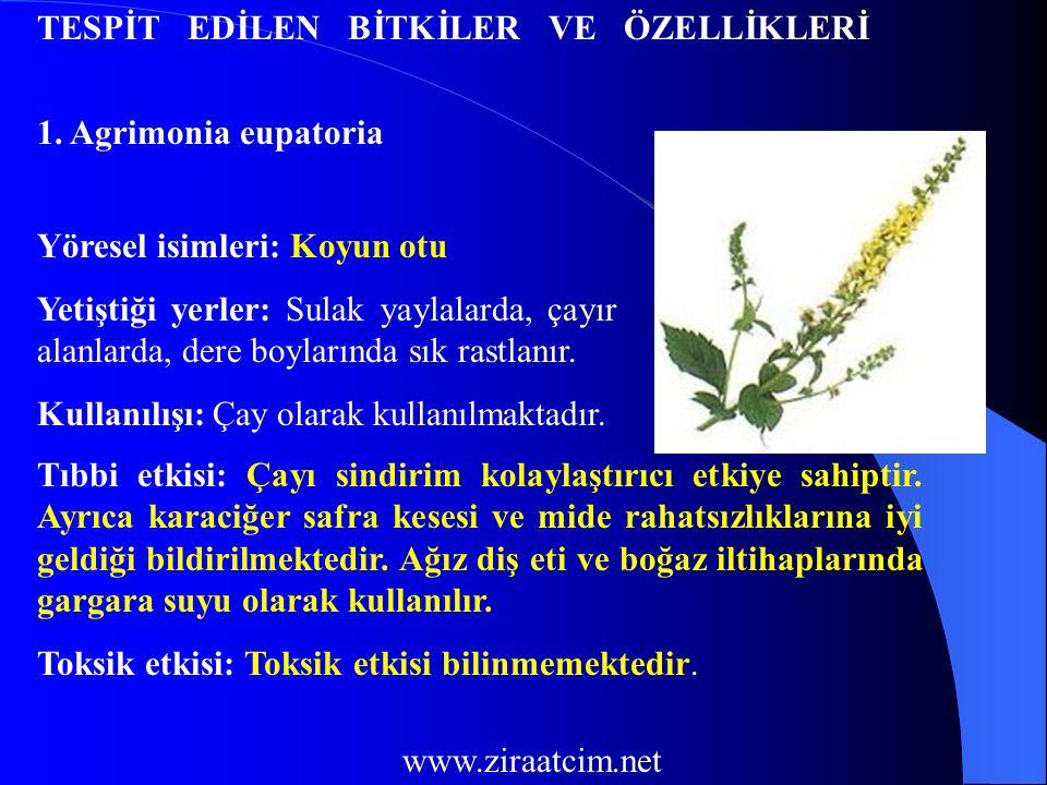 32.Oxalis acetosella Yöresel isimleri: Ekşi yonca Yetiştiği yerler: Orman kenarlarında yetişir.