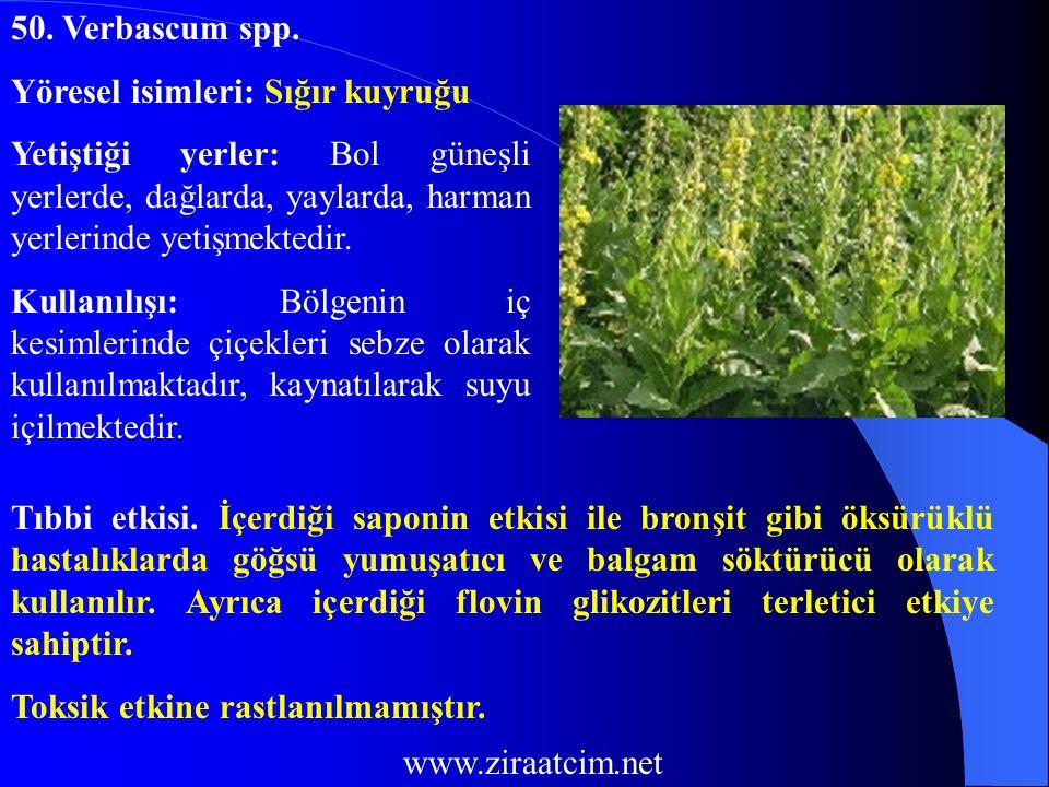 50. Verbascum spp. Yöresel isimleri: Sığır kuyruğu Yetiştiği yerler: Bol güneşli yerlerde, dağlarda, yaylarda, harman yerlerinde yetişmektedir. Kullan