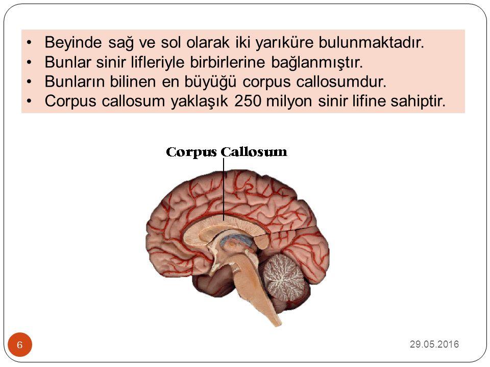 29.05.2016 6 Beyinde sağ ve sol olarak iki yarıküre bulunmaktadır. Bunlar sinir lifleriyle birbirlerine bağlanmıştır. Bunların bilinen en büyüğü corpu