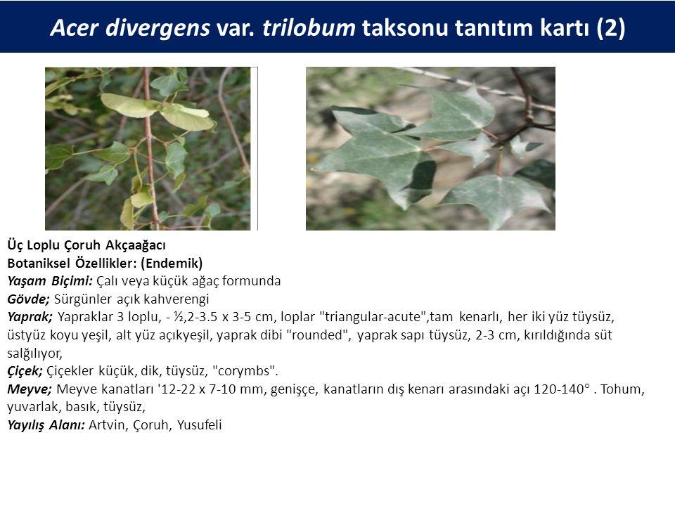 Acer divergens var. trilobum taksonu tanıtım kartı (2) Üç Loplu Çoruh Akçaağacı Botaniksel Özellikler: (Endemik) Yaşam Biçimi: Çalı veya küçük ağaç fo