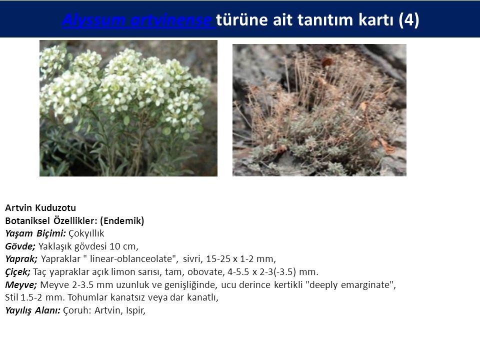 Alyssum artvinense Alyssum artvinense türüne ait tanıtım kartı (4) Artvin Kuduzotu Botaniksel Özellikler: (Endemik) Yaşam Biçimi: Çokyıllık Gövde; Yak