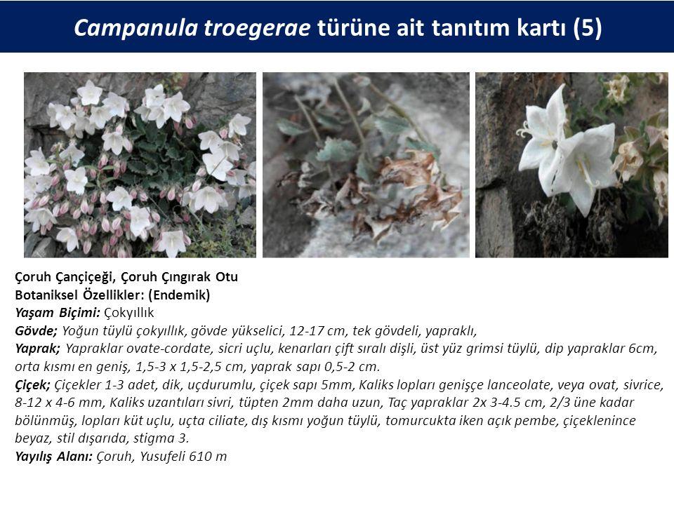 Campanula troegerae türüne ait tanıtım kartı (5) Çoruh Çançiçeği, Çoruh Çıngırak Otu Botaniksel Özellikler: (Endemik) Yaşam Biçimi: Çokyıllık Gövde; Yoğun tüylü çokyıllık, gövde yükselici, 12-17 cm, tek gövdeli, yapraklı, Yaprak; Yapraklar ovate-cordate, sicri uçlu, kenarları çift sıralı dişli, üst yüz grimsi tüylü, dip yapraklar 6cm, orta kısmı en geniş, 1,5-3 x 1,5-2,5 cm, yaprak sapı 0,5-2 cm.