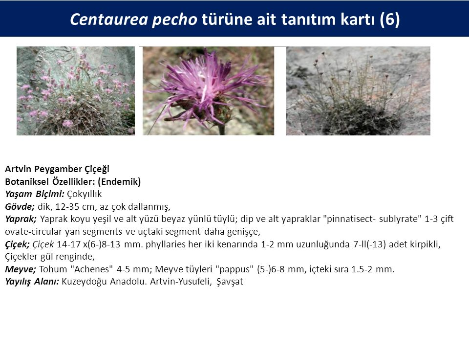 Centaurea pecho türüne ait tanıtım kartı (6) Artvin Peygamber Çiçeği Botaniksel Özellikler: (Endemik) Yaşam Biçimi: Çokyıllık Gövde; dik, 12-35 cm, az çok dallanmış, Yaprak; Yaprak koyu yeşil ve alt yüzü beyaz yünlü tüylü; dip ve alt yapraklar pinnatisect- sublyrate 1-3 çift ovate-circular yan segments ve uçtaki segment daha genişçe, Çiçek; Çiçek 14-17 x(6-)8-13 mm.