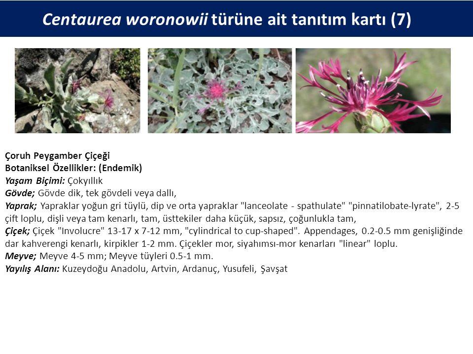 Centaurea woronowii türüne ait tanıtım kartı (7) Çoruh Peygamber Çiçeği Botaniksel Özellikler: (Endemik) Yaşam Biçimi: Çokyıllık Gövde; Gövde dik, tek gövdeli veya dallı, Yaprak; Yapraklar yoğun gri tüylü, dip ve orta yapraklar lanceolate - spathulate pinnatilobate-lyrate , 2-5 çift loplu, dişli veya tam kenarlı, tam, üsttekiler daha küçük, sapsız, çoğunlukla tam, Çiçek; Çiçek Involucre 13-17 x 7-12 mm, cylindrical to cup-shaped .