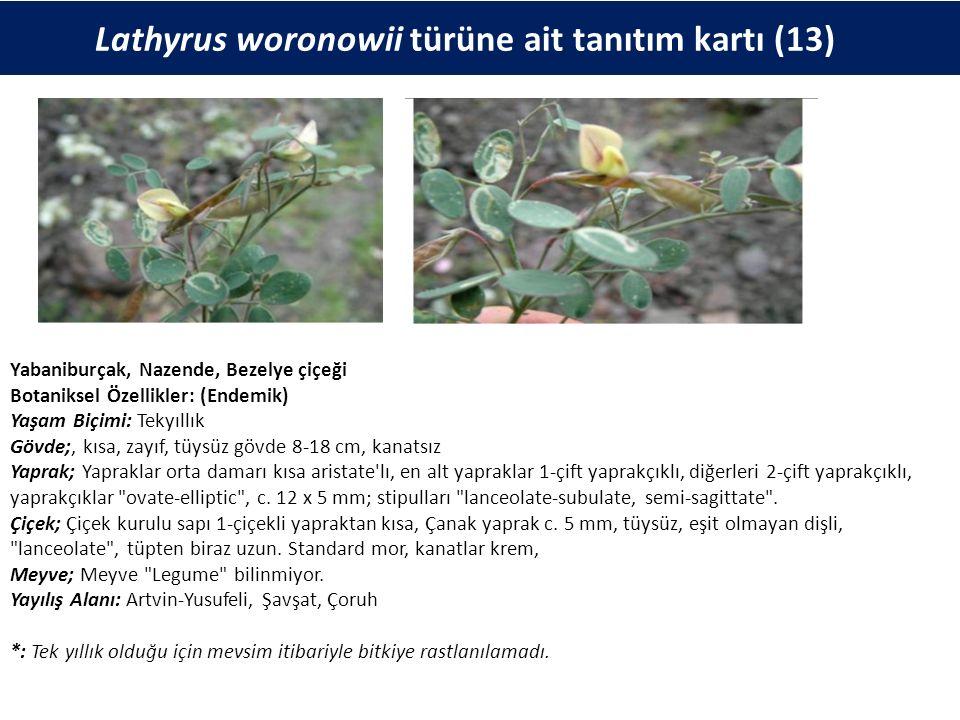 Lathyrus woronowii türüne ait tanıtım kartı (13) Yabaniburçak, Nazende, Bezelye çiçeği Botaniksel Özellikler: (Endemik) Yaşam Biçimi: Tekyıllık Gövde;, kısa, zayıf, tüysüz gövde 8-18 cm, kanatsız Yaprak; Yapraklar orta damarı kısa aristate lı, en alt yapraklar 1-çift yaprakçıklı, diğerleri 2-çift yaprakçıklı, yaprakçıklar ovate-elliptic , c.