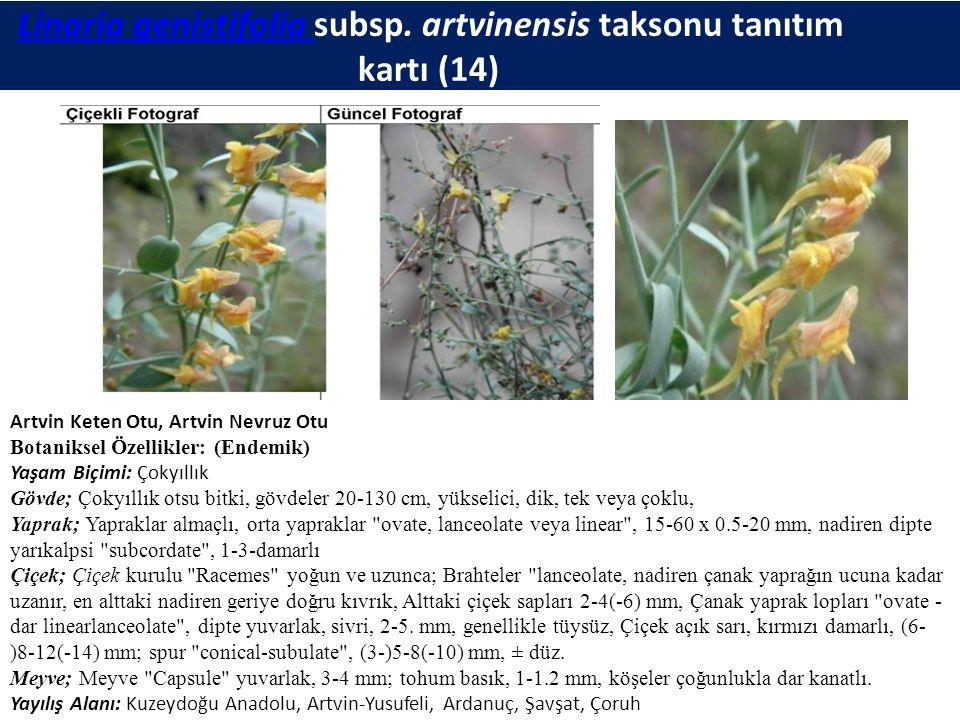 Linaria genistifolia subsp. artvinensis taksonu tanıtım kartı (14)Linaria genistifolia Artvin Keten Otu, Artvin Nevruz Otu Botaniksel Özellikler: (End