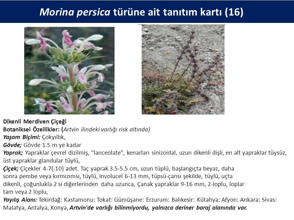 Morina persica türüne ait tanıtım kartı (16) Dikenli Merdiven Çiçeği Botaniksel Özellikler: (Artvin ilindeki varlığı risk altında) Yaşam Biçimi: Çokyıllık, Gövde; Gövde 1.5 m ye kadar Yaprak; Yapraklar çevrel dizilmiş, lanceolate , kenarları sinizoidal, uzun dikenli dişli, en alt yapraklar tüysüz, üst yapraklar glandular tüylü, Çiçek; Çiçekler 4-7(-10) adet.