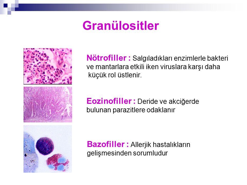 Granülositler Nötrofiller : Salgıladıkları enzimlerle bakteri ve mantarlara etkili iken viruslara karşı daha küçük rol üstlenir. Eozinofiller : Deride