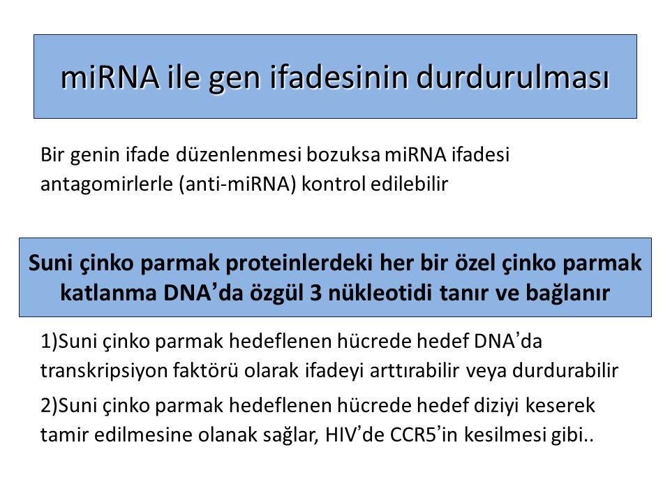 Bir genin ifade düzenlenmesi bozuksa miRNA ifadesi antagomirlerle (anti-miRNA) kontrol edilebilir 1)Suni çinko parmak hedeflenen hücrede hedef DNA'da