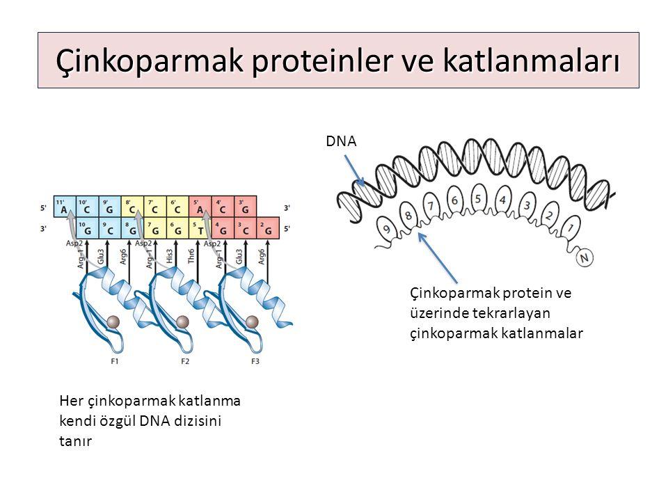 Çinkoparmak proteinler ve katlanmaları DNA Çinkoparmak protein ve üzerinde tekrarlayan çinkoparmak katlanmalar Her çinkoparmak katlanma kendi özgül DN