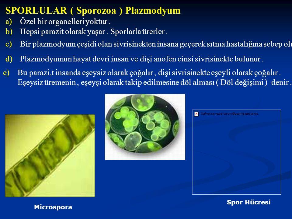 SPORLULAR ( Sporozoa ) Plazmodyum a)Özel bir organelleri yoktur. b)Hepsi parazit olarak yaşar. Sporlarla ürerler. c)Bir plazmodyum çeşidi olan sivrisi