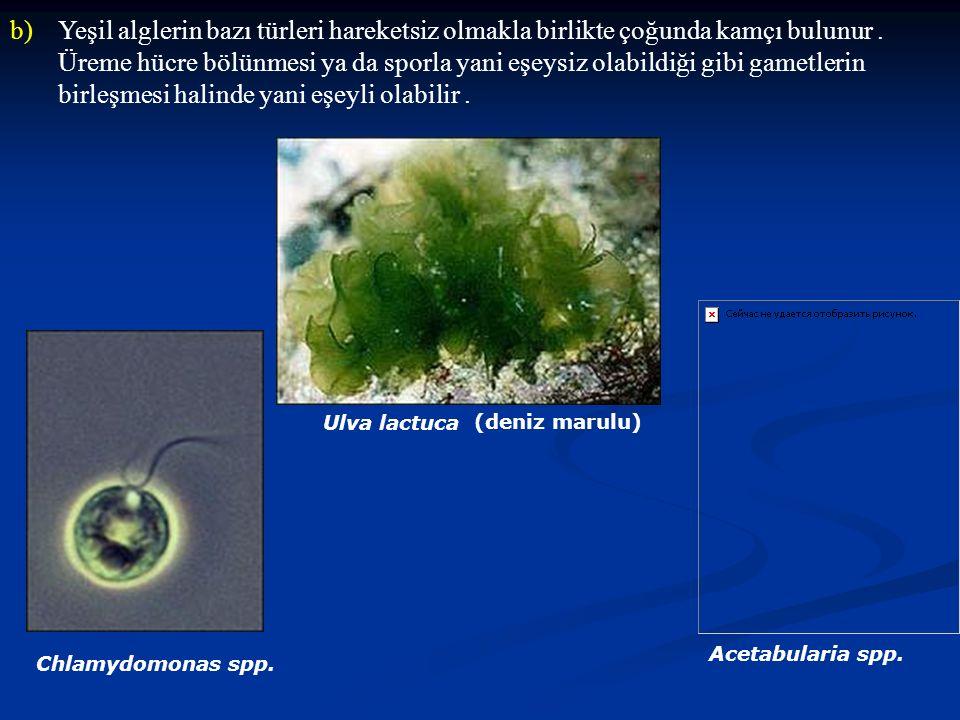 b)Yeşil alglerin bazı türleri hareketsiz olmakla birlikte çoğunda kamçı bulunur. Üreme hücre bölünmesi ya da sporla yani eşeysiz olabildiği gibi gamet