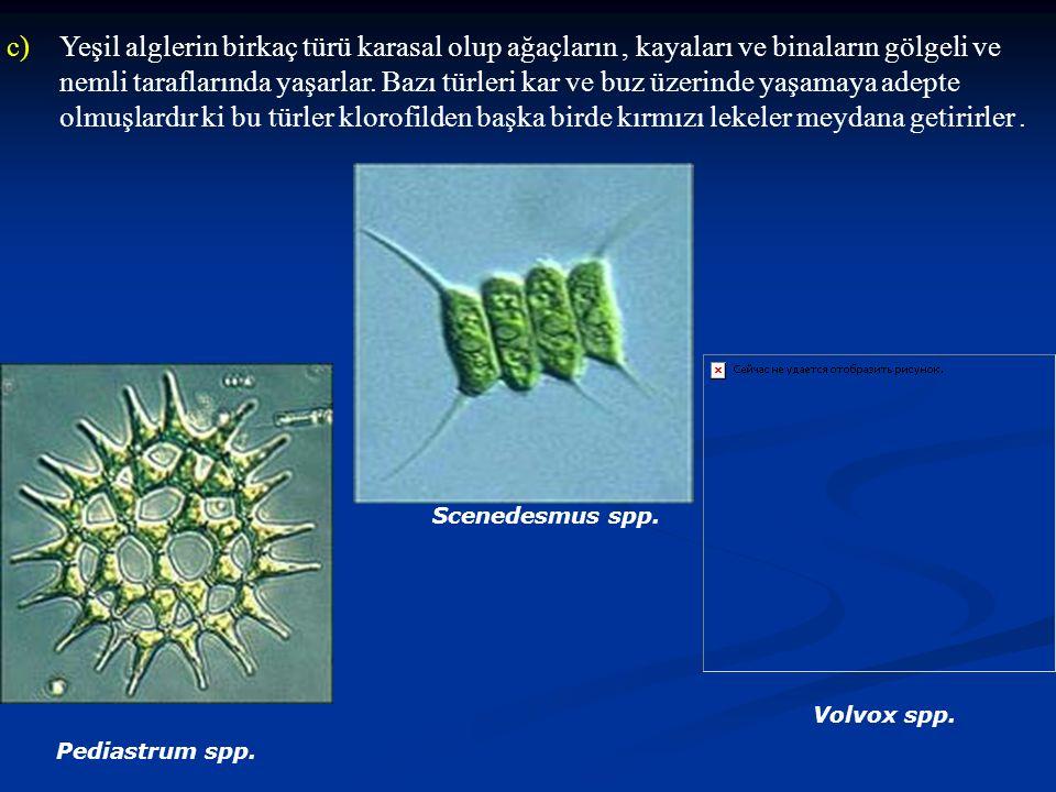 c)Yeşil alglerin birkaç türü karasal olup ağaçların, kayaları ve binaların gölgeli ve nemli taraflarında yaşarlar. Bazı türleri kar ve buz üzerinde ya