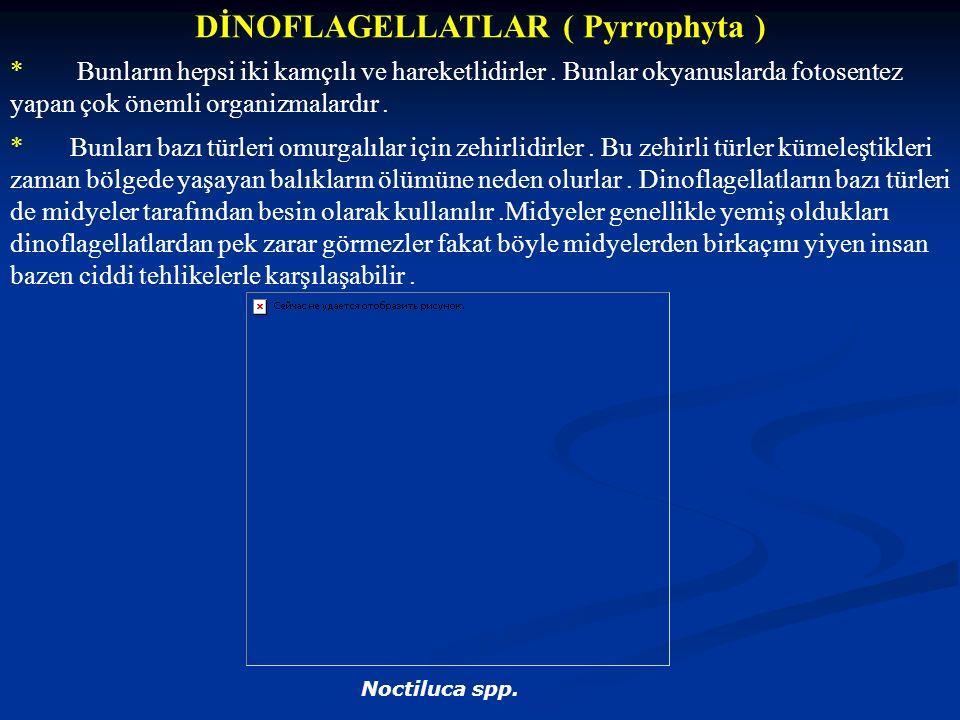 DİNOFLAGELLATLAR ( Pyrrophyta ) * Bunların hepsi iki kamçılı ve hareketlidirler. Bunlar okyanuslarda fotosentez yapan çok önemli organizmalardır. * Bu