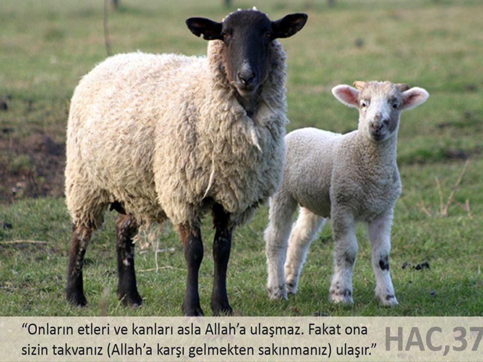 İSLAM GELMEDEN ÖNCEDE TARİHTE KURBAN İBADETİ Adem (as)'ın iki oğlunun kurbanları İbrahim (as)'ın oğlu İsmail'i kurban etmesi ilahi vahyin tecellisi Yahudilik ve Hristiyanlıkta da kurban ibadeti vardı.