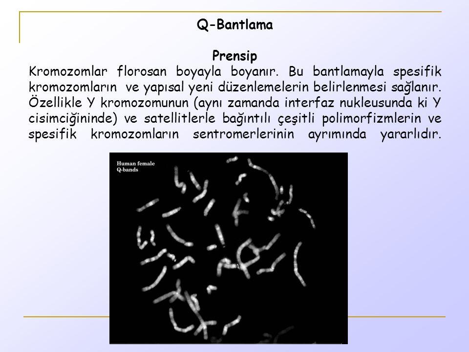 Q-Bantlama Prensip Kromozomlar florosan boyayla boyanır.