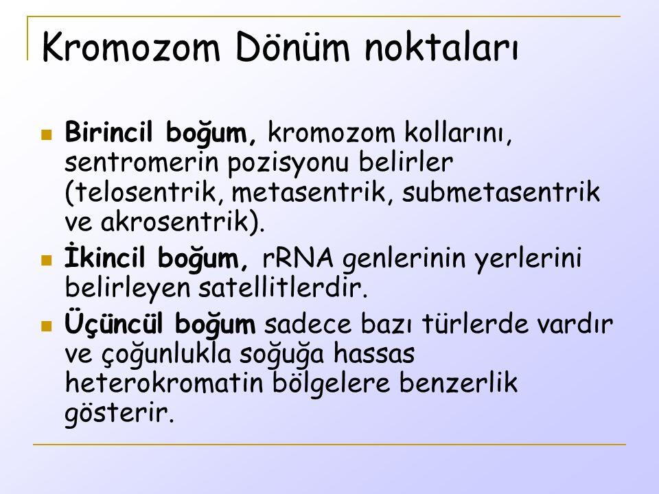 Kromozom Dönüm noktaları Birincil boğum, kromozom kollarını, sentromerin pozisyonu belirler (telosentrik, metasentrik, submetasentrik ve akrosentrik).