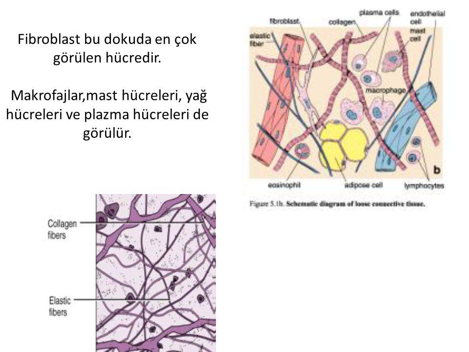 Fibroblast bu dokuda en çok görülen hücredir.
