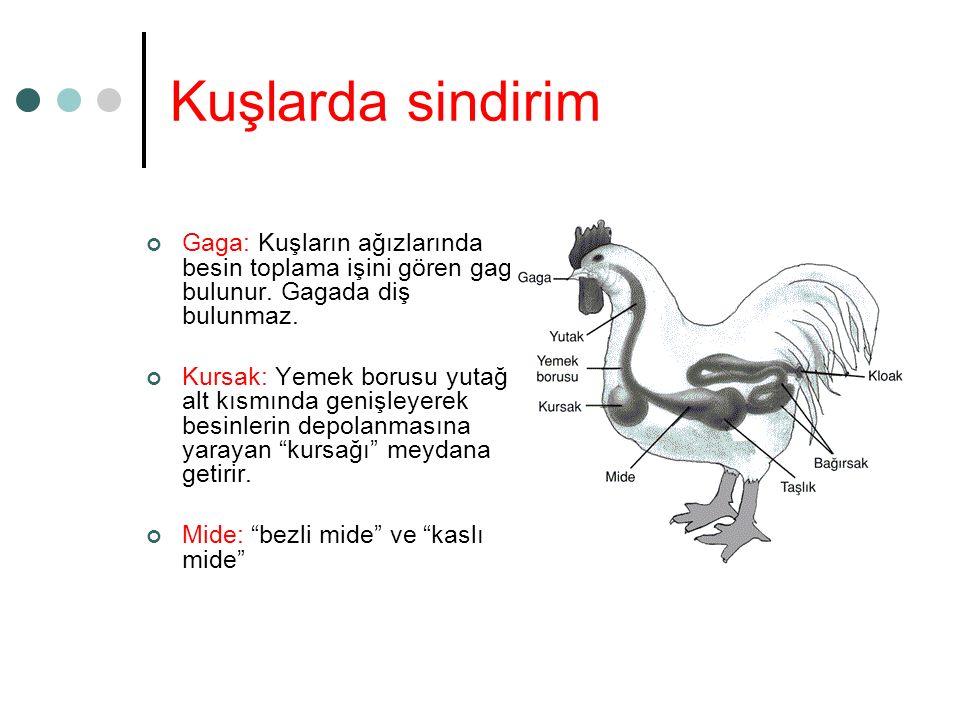 Kuşlarda sindirim Gaga: Kuşların ağızlarında besin toplama işini gören gaga bulunur. Gagada diş bulunmaz. Kursak: Yemek borusu yutağın alt kısmında ge