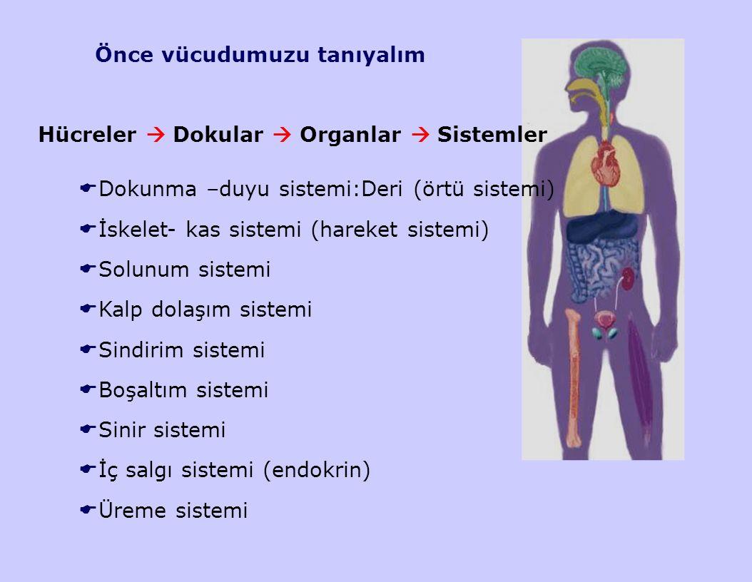 Önce vücudumuzu tanıyalım Hücreler  Dokular  Organlar  Sistemler  Dokunma –duyu sistemi:Deri (örtü sistemi)  İskelet- kas sistemi (hareket sistem
