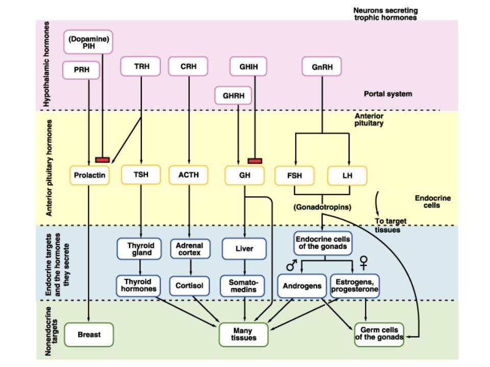 insulin glucagon PTH epinephrine ADH oxytocin Simple and complex endocrine/neuroendocrine circuits nervous system thyroid hormones cortisol estrogens testosterone insulin growth hormone