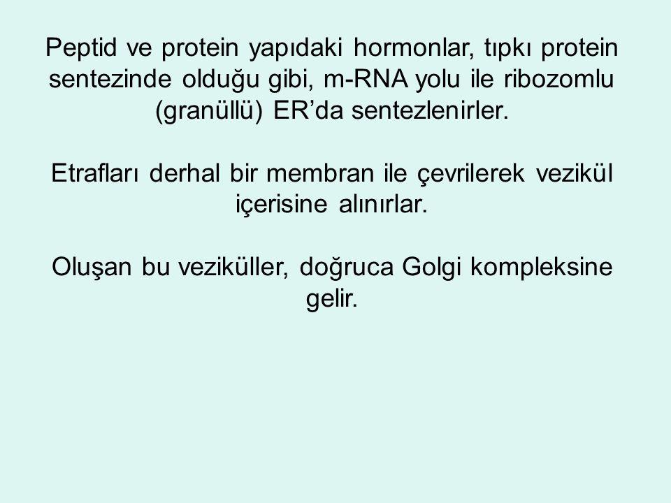 Peptid ve protein yapıdaki hormonlar, tıpkı protein sentezinde olduğu gibi, m-RNA yolu ile ribozomlu (granüllü) ER'da sentezlenirler.