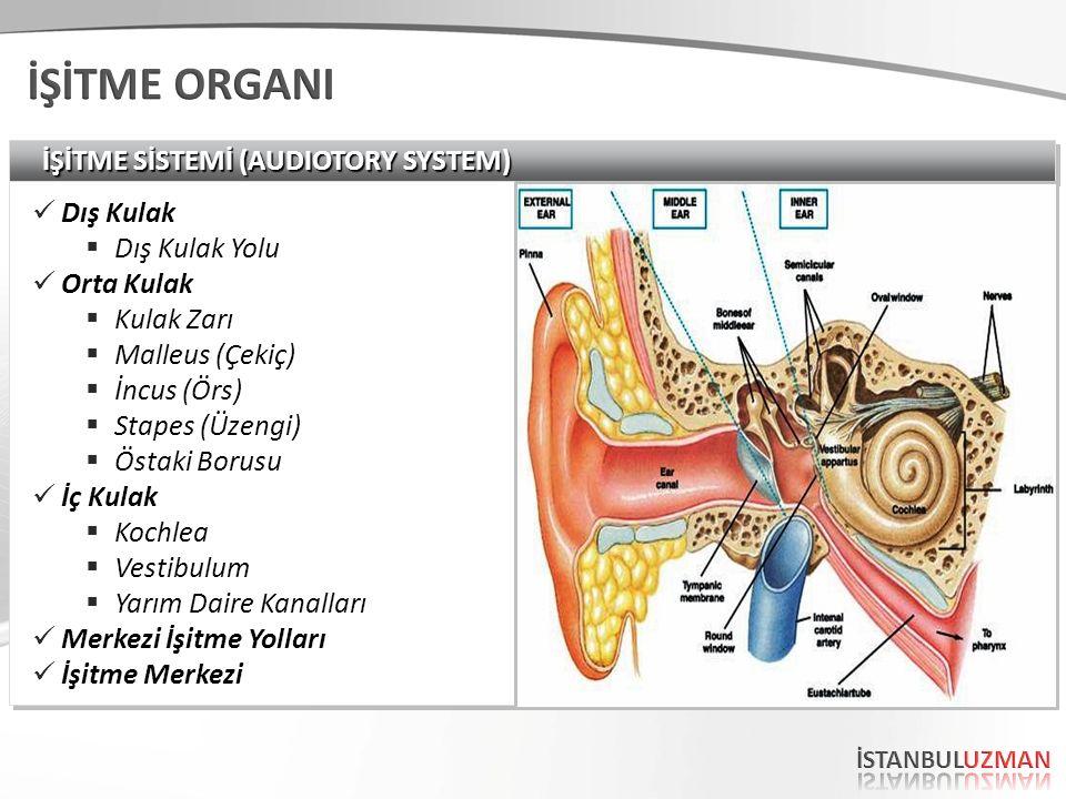 İŞİTME SİSTEMİ (AUDIOTORY SYSTEM) Dış Kulak  Dış Kulak Yolu Orta Kulak  Kulak Zarı  Malleus (Çekiç)  İncus (Örs)  Stapes (Üzengi)  Östaki Borusu