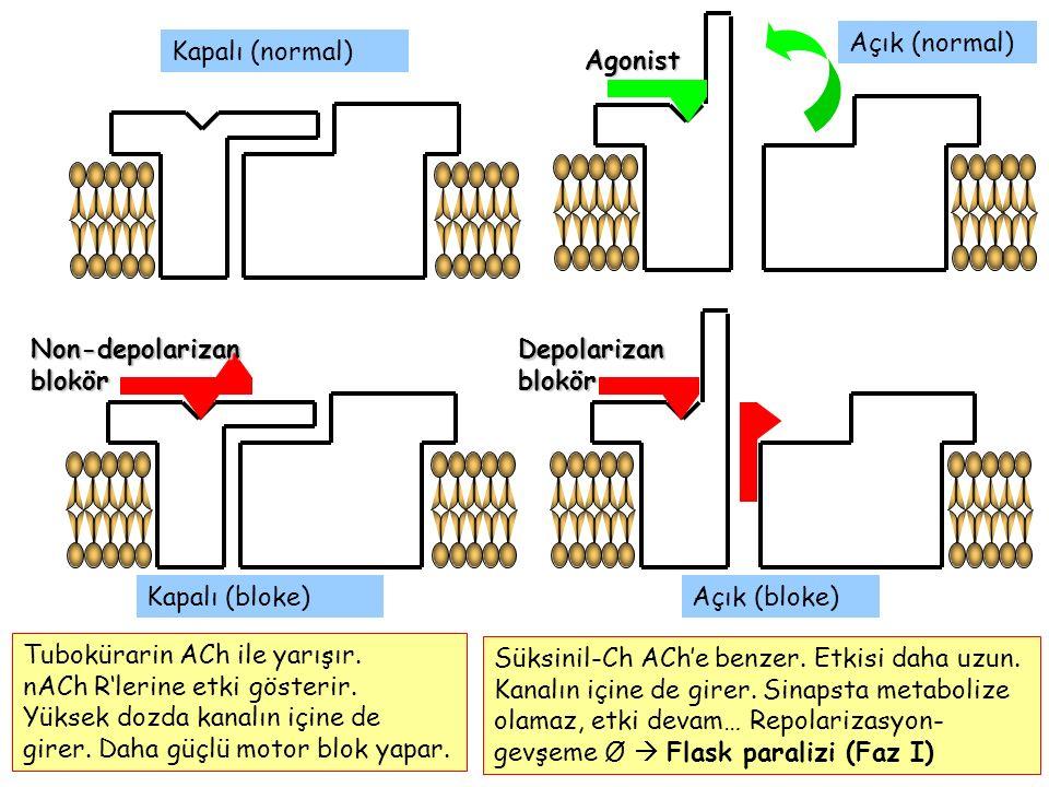Kapalı (normal) Açık (normal) Kapalı (bloke)Agonist Non-depolarizan blokör Depolarizan blokör Açık (bloke) Tubokürarin ACh ile yarışır. nACh R'lerine