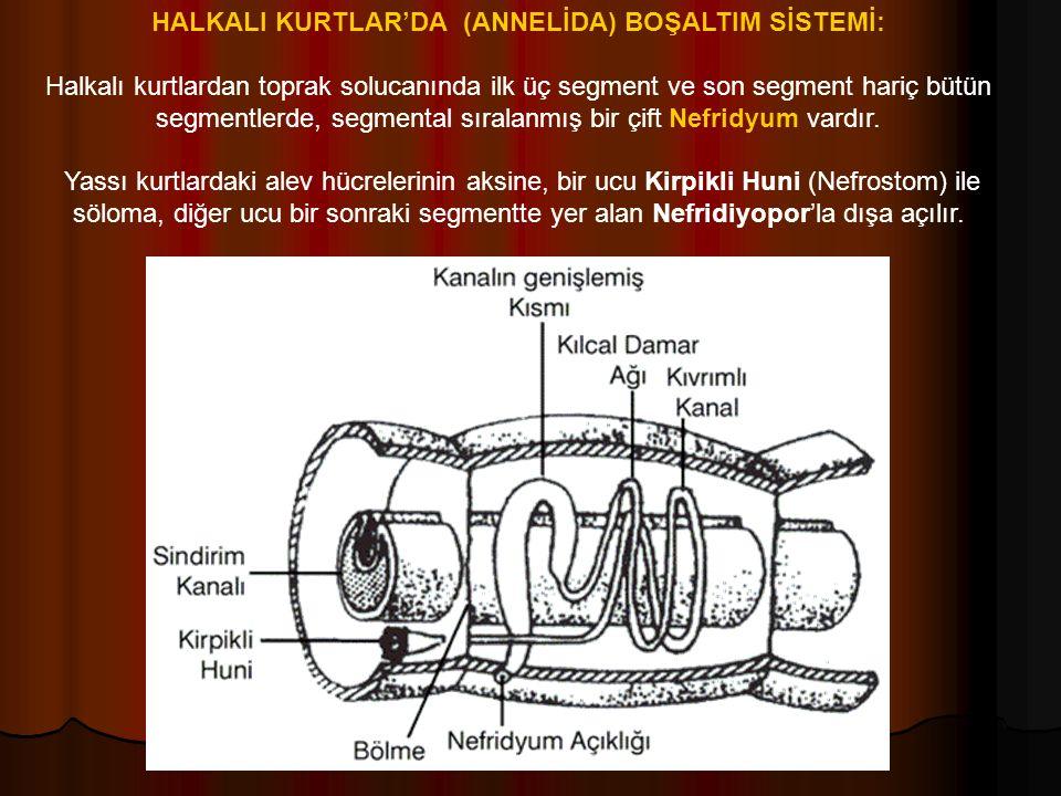 HALKALI KURTLAR'DA (ANNELİDA) BOŞALTIM SİSTEMİ: Halkalı kurtlardan toprak solucanında ilk üç segment ve son segment hariç bütün segmentlerde, segmental sıralanmış bir çift Nefridyum vardır.