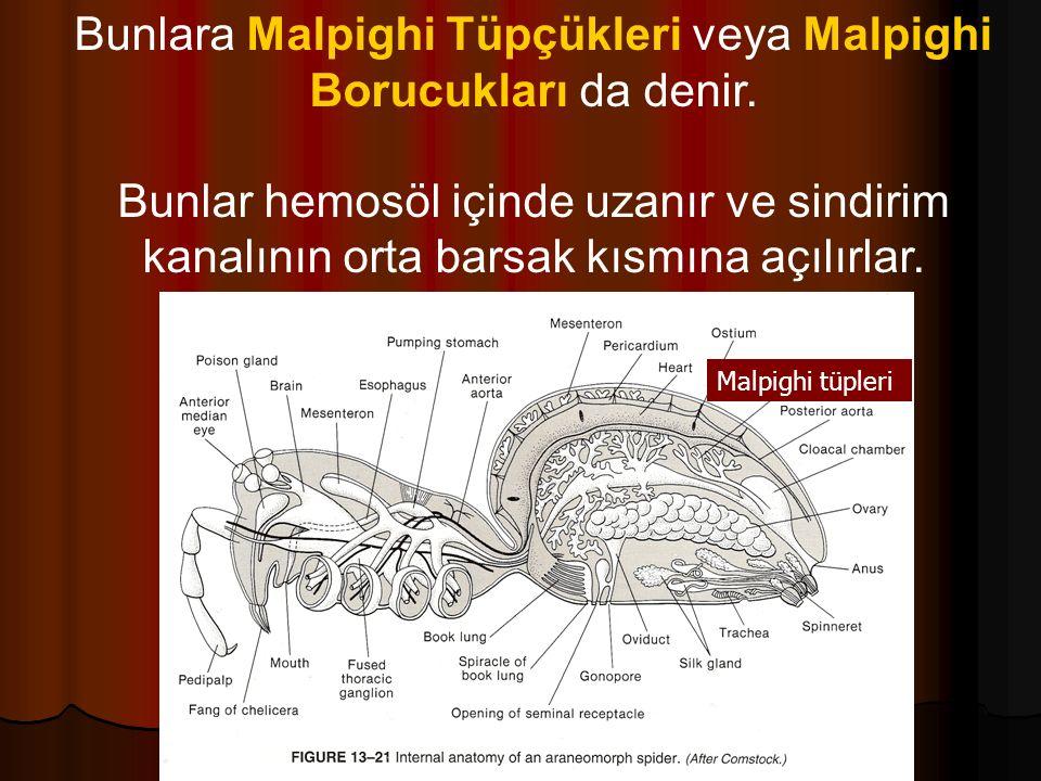 Bunlara Malpighi Tüpçükleri veya Malpighi Borucukları da denir.