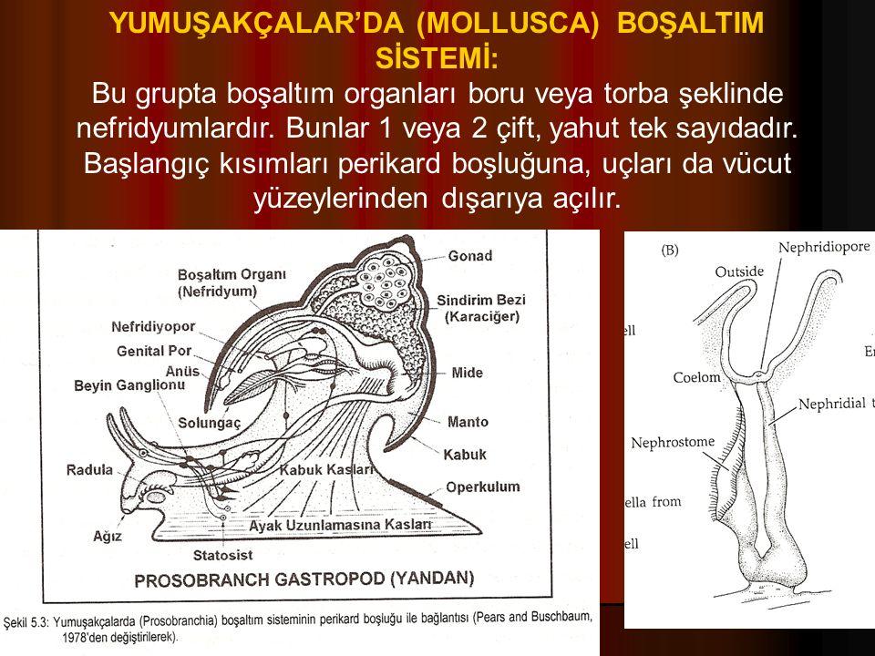 YUMUŞAKÇALAR'DA (MOLLUSCA) BOŞALTIM SİSTEMİ: Bu grupta boşaltım organları boru veya torba şeklinde nefridyumlardır.