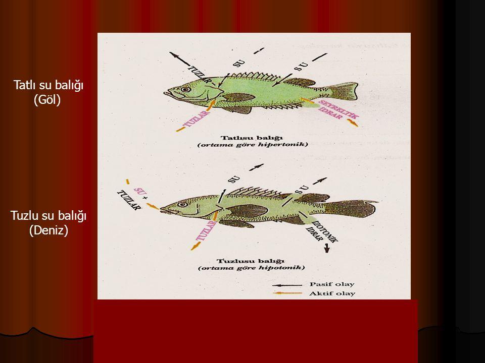 Tatlı su balığı (Göl) Tuzlu su balığı (Deniz)