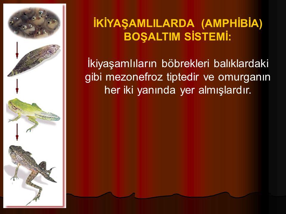 İKİYAŞAMLILARDA (AMPHİBİA) BOŞALTIM SİSTEMİ: İkiyaşamlıların böbrekleri balıklardaki gibi mezonefroz tiptedir ve omurganın her iki yanında yer almışlardır.