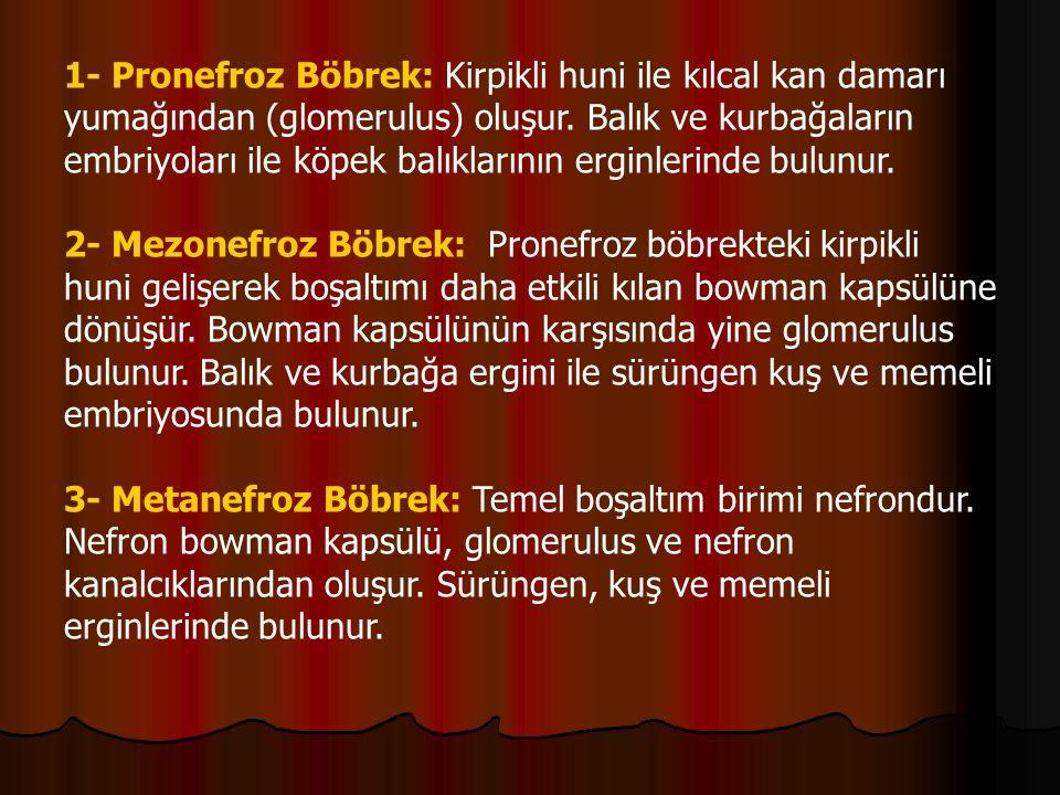 1- Pronefroz Böbrek: Kirpikli huni ile kılcal kan damarı yumağından (glomerulus) oluşur.