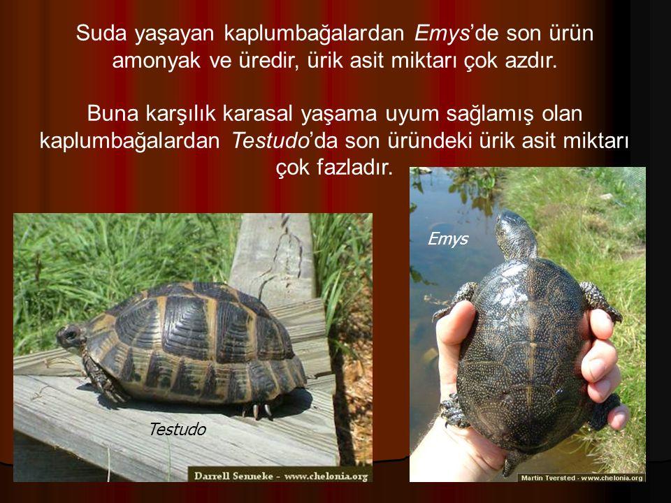 Suda yaşayan kaplumbağalardan Emys'de son ürün amonyak ve üredir, ürik asit miktarı çok azdır.