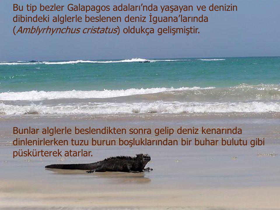 Bu tip bezler Galapagos adaları'nda yaşayan ve denizin dibindeki alglerle beslenen deniz İguana'larında (Amblyrhynchus cristatus) oldukça gelişmiştir.