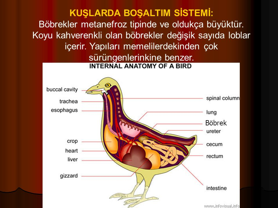 KUŞLARDA BOŞALTIM SİSTEMİ: Böbrekler metanefroz tipinde ve oldukça büyüktür.