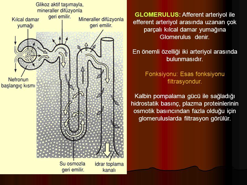 GLOMERULUS: Afferent arteriyol ile efferent arteriyol arasında uzanan çok parçalı kılcal damar yumağına Glomerulus denir.