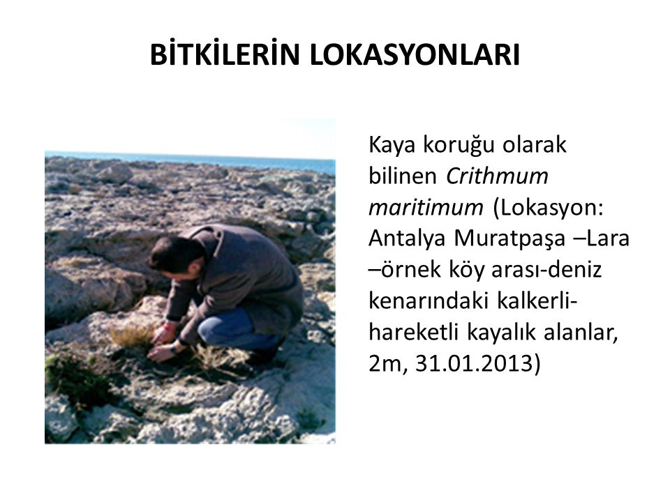 BİTKİLERİN LOKASYONLARI Kaya koruğu olarak bilinen Crithmum maritimum (Lokasyon: Antalya Muratpaşa –Lara –örnek köy arası-deniz kenarındaki kalkerli- hareketli kayalık alanlar, 2m, 31.01.2013)