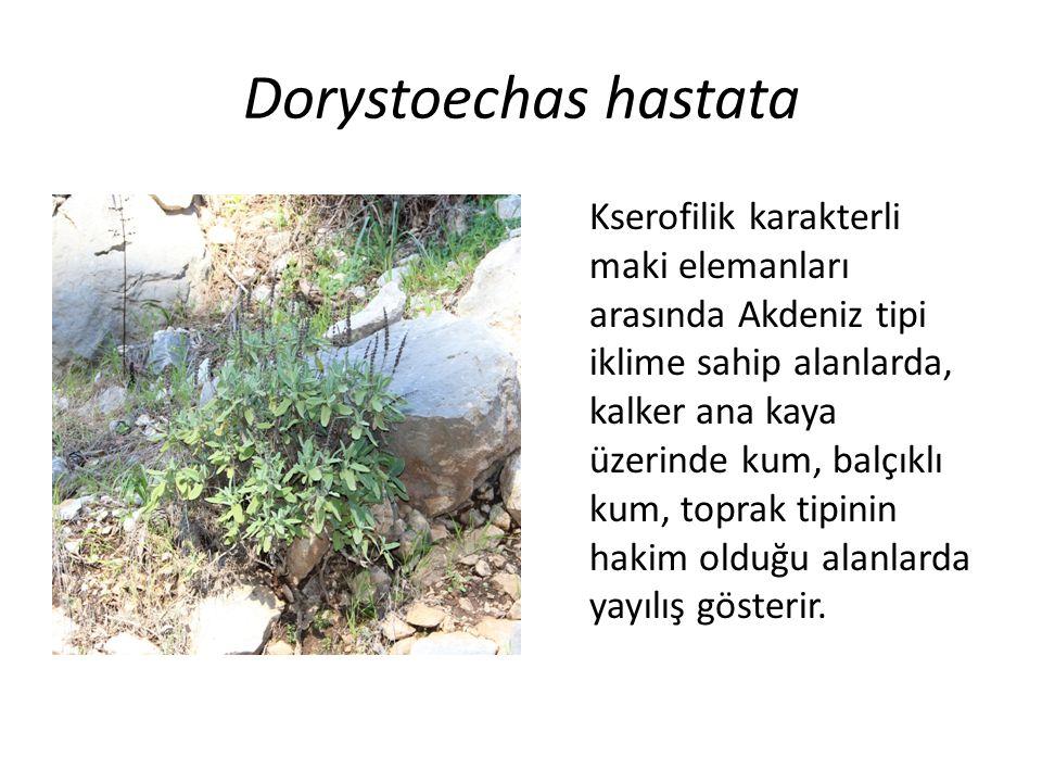 Dorystoechas hastata Kserofilik karakterli maki elemanları arasında Akdeniz tipi iklime sahip alanlarda, kalker ana kaya üzerinde kum, balçıklı kum, toprak tipinin hakim olduğu alanlarda yayılış gösterir.