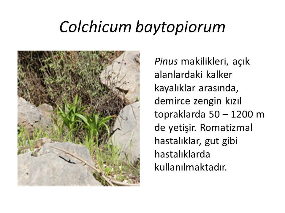 Colchicum baytopiorum Pinus makilikleri, açık alanlardaki kalker kayalıklar arasında, demirce zengin kızıl topraklarda 50 – 1200 m de yetişir.