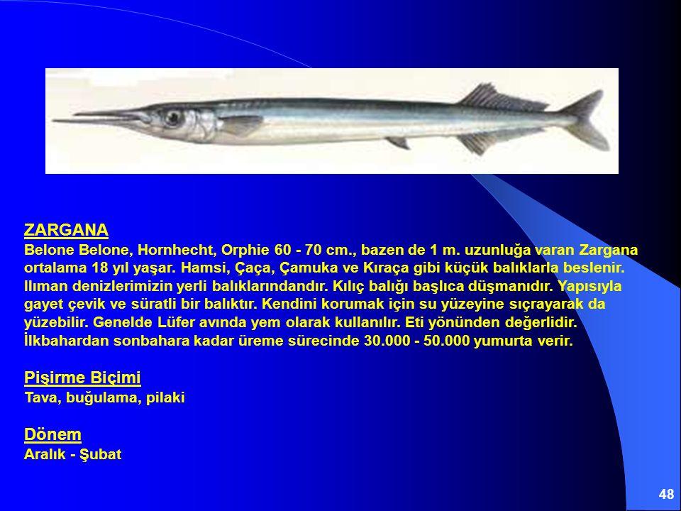 48 ZARGANA Belone Belone, Hornhecht, Orphie 60 - 70 cm., bazen de 1 m. uzunluğa varan Zargana ortalama 18 yıl yaşar. Hamsi, Çaça, Çamuka ve Kıraça gib