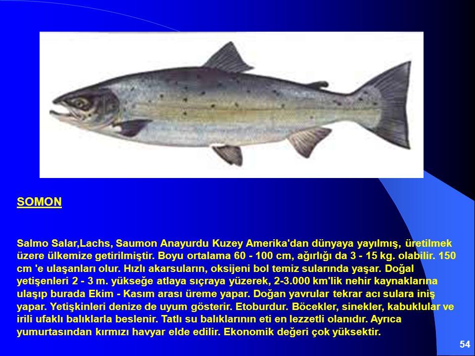 54 SOMON Salmo Salar,Lachs, Saumon Anayurdu Kuzey Amerika'dan dünyaya yayılmış, üretilmek üzere ülkemize getirilmiştir. Boyu ortalama 60 - 100 cm, ağı