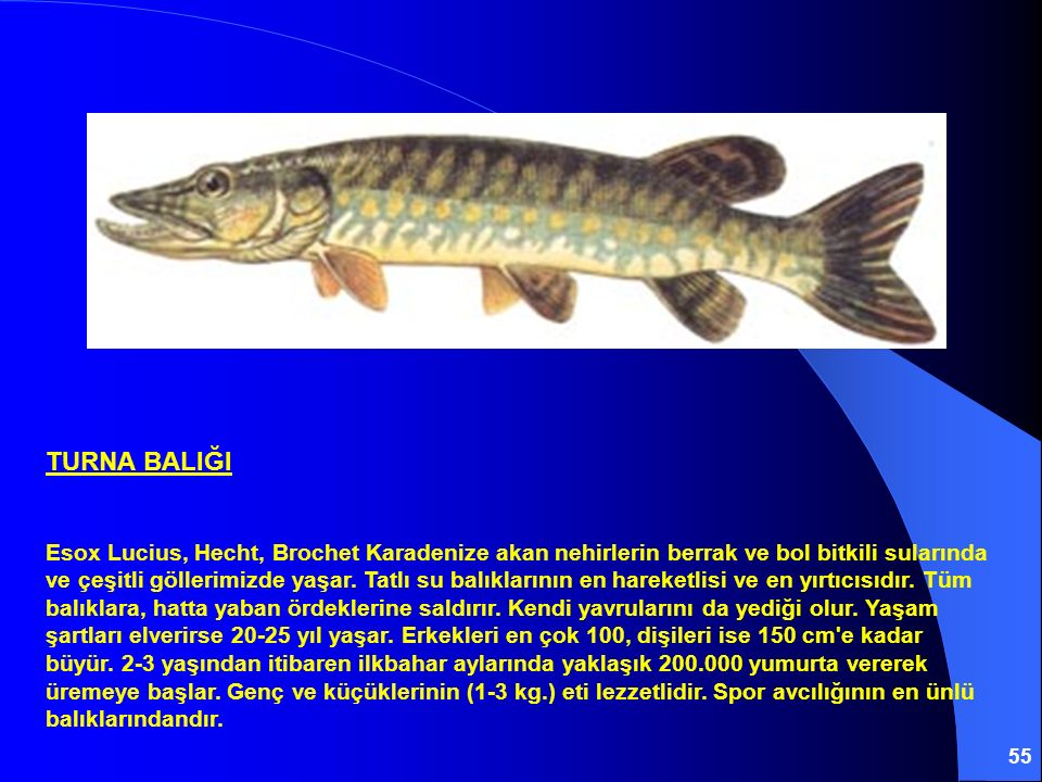 55 TURNA BALIĞI Esox Lucius, Hecht, Brochet Karadenize akan nehirlerin berrak ve bol bitkili sularında ve çeşitli göllerimizde yaşar. Tatlı su balıkla