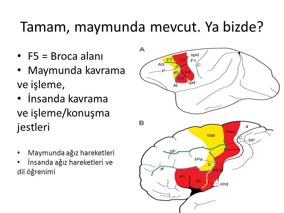 Tamam, maymunda mevcut. Ya bizde? F5 = Broca alanı Maymunda kavrama ve işleme, İnsanda kavrama ve işleme/konuşma jestleri Maymunda ağız hareketleri İn