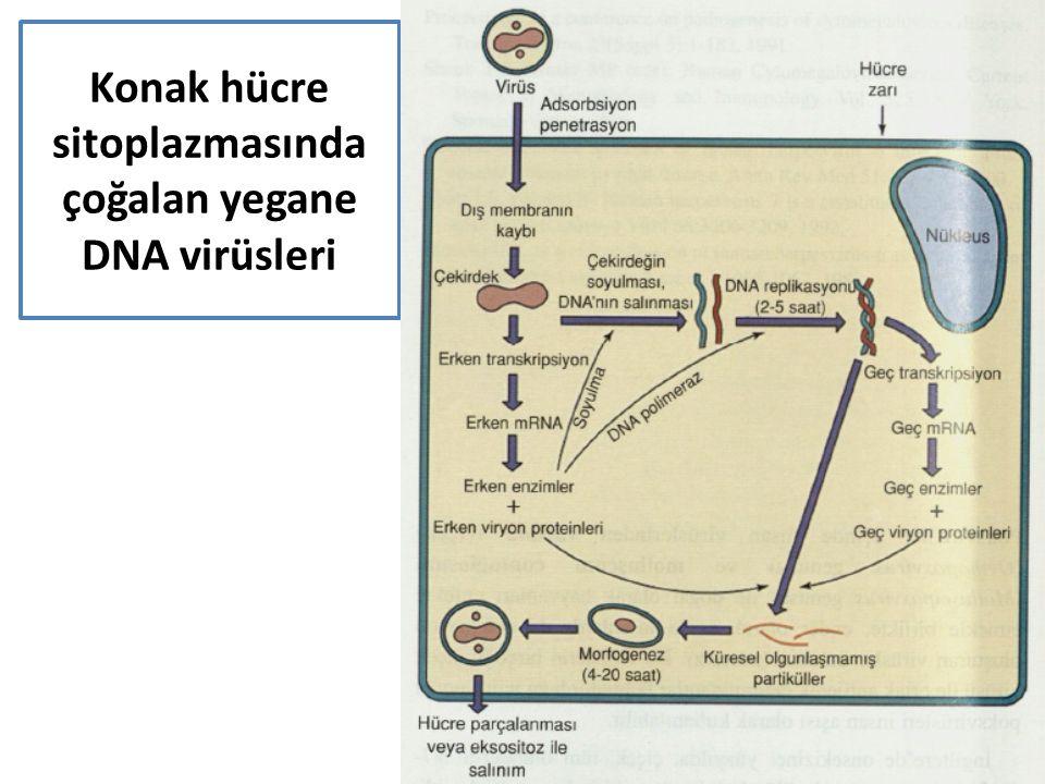 Konak hücre sitoplazmasında çoğalan yegane DNA virüsleri