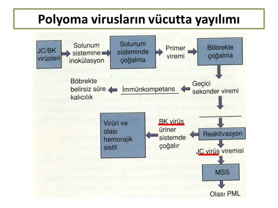 Polyoma virusların vücutta yayılımı