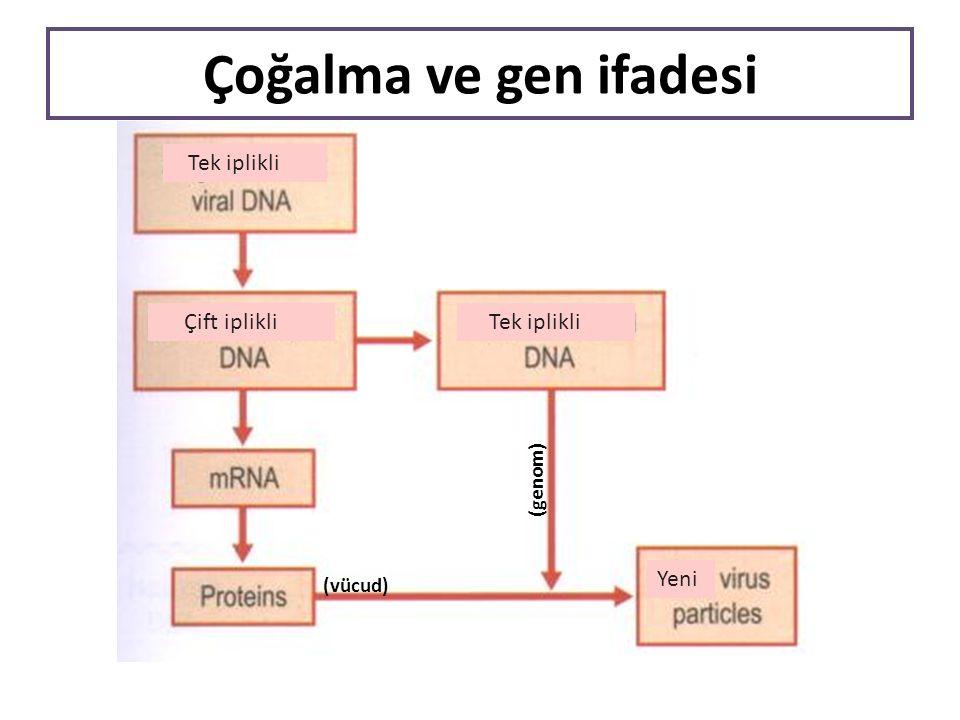 (genom) Tek iplikli Çift iplikli Tek iplikli Yeni (vücud) Çoğalma ve gen ifadesi